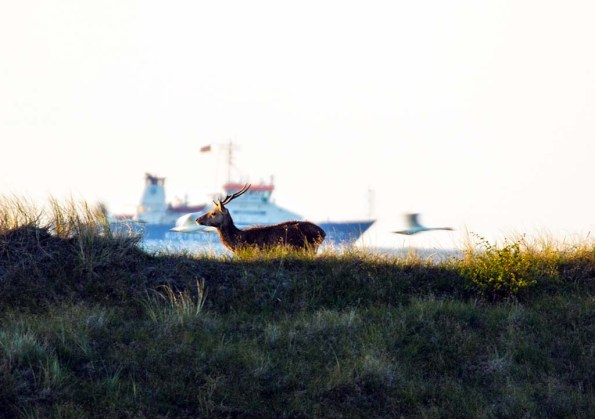 Rotwild an der Ostsee (c) FRank Koebsch (4)