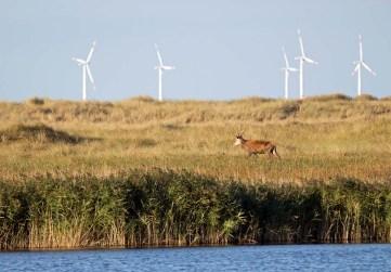 Rotwild an der Ostsee (c) FRank Koebsch