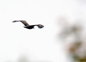 Ein Seeadler versetzt die Kraniche in Aufregung (c) Frank Koebsch