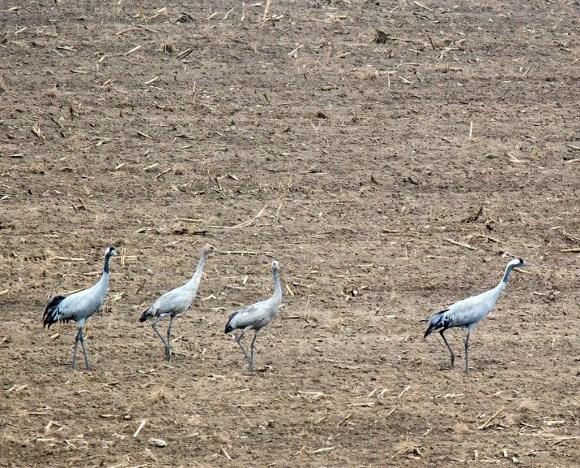 Eine Krenichfamilie auf den Feldern an der Müritz (c) Frank Koebsch