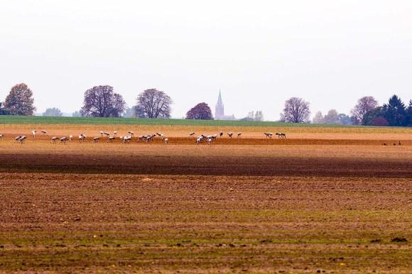 Kraniche auf den Feldern bei Röbel (c) Frank Koebsch (1)