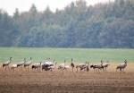Kraniche auf den Feldern bei Röbel (c) Frank Koebsch (10)