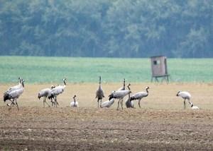 Kraniche auf den Feldern bei Röbel (c) Frank Koebsch (11)