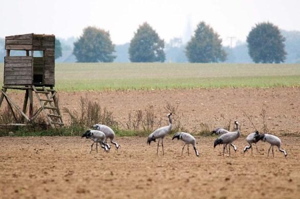 Kraniche auf den Feldern bei Röbel (c) Frank Koebsch (12)