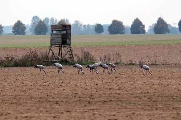 Kraniche auf den Feldern bei Röbel (c) Frank Koebsch (13)