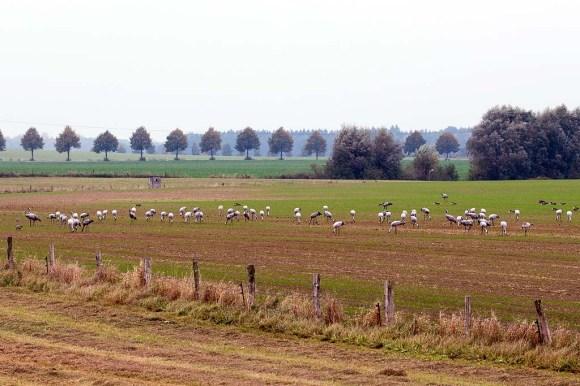 Kraniche auf den Feldern bei Röbel (c) Frank Koebsch (14)