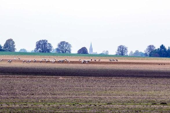 Kraniche auf den Feldern bei Röbel (c) Frank Koebsch (2)