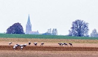 Kraniche auf den Feldern bei Röbel (c) Frank Koebsch (3)