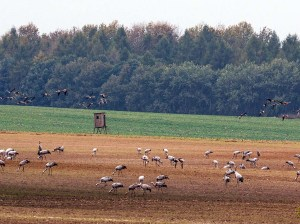 Kraniche auf den Feldern bei Röbel (c) Frank Koebsch (4)