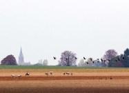 Kraniche auf den Feldern bei Röbel (c) Frank Koebsch (5)