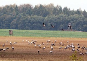 Kraniche auf den Feldern bei Röbel (c) Frank Koebsch (6)