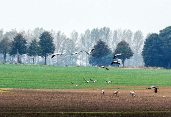 Kraniche auf den Feldern bei Röbel (c) Frank Koebsch (7)