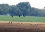 Kraniche auf den Feldern bei Röbel (c) Frank Koebsch (8)