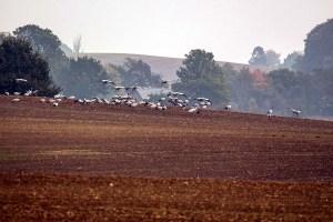 Kraniche auf einem Feld an der Müritz (c) FRank Koebsch