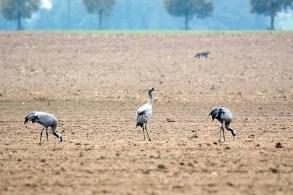 Kranichfamilie auf den Feldern bei Röbel (c) FRank Koebsch