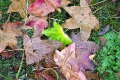 Bunte Herbstblätter im Botanischen Garten Rostock (c) Frank Koebsch (1)