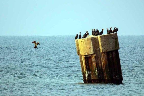 Kormorane in der Ostsee vor dem Darßer Ort (c) FRank Koebsch (1)