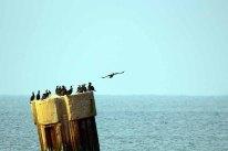 Kormorane in der Ostsee vor dem Darßer Ort (c) FRank Koebsch (2)