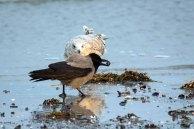 Möwe und Nebelkrähe im Spühlsaum der winterlichen Ostsee am Darßer Ort (c) FRank Koebsch. (