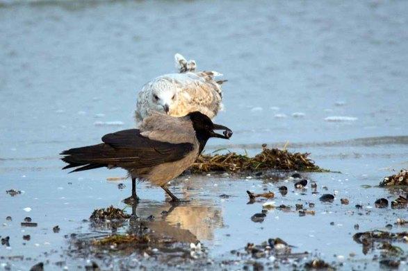 Möwe und Nebelkrähe im Spühlsaum der winterlichen Ostsee am Darßer Ort (c) FRank Koebsch. (5)