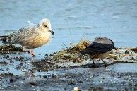 Möwe und Nebelkrähe im Spühlsaum der winterlichen Ostsee am Darßer Ort (c) FRank Koebsch. (9)