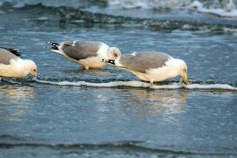 Möwen im Spühlsaum der winterlichen Ostsee am Darßer Ort (c) FRank Koebsch (2)