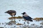 Nebelkrähen im Spühlsaum der winterlichen Ostsee am Darßer Ort (c) FRank Koebsch (1)