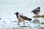 Nebelkrähen im Spühlsaum der winterlichen Ostsee am Darßer Ort (c) FRank Koebsch (