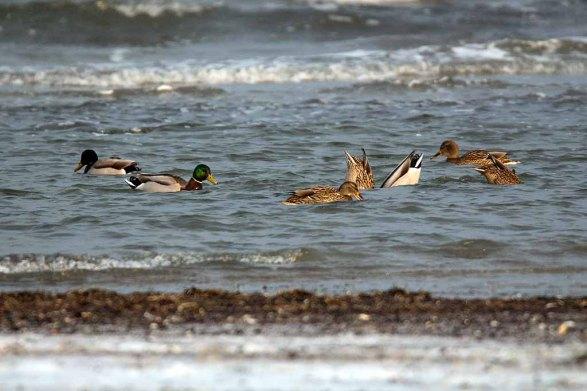 Stockenten in der eisigen Ostsee vor dem Darßer Ort (c) FRank Koebsch (1)