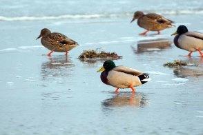 Stockenten in der eisigen Ostsee vor dem Darßer Ort (c) FRank Koebsch (5)