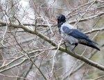 Nebelkähe ein ganz besonderer Singvogel (c) FRank Koebsch (1)