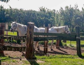 Pferde der alten Büdnerei (c) Frank Koebsch