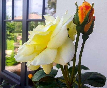 Rosen der Alten Büdnerei in Kühlungsborn (c) Frank Koebsch (1)
