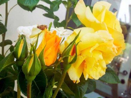 Rosen der Alten Büdnerei in Kühlungsborn (c) Frank Koebsch (3)
