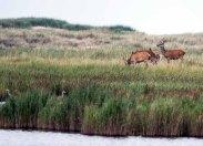 Hirsche und Reiher am Darßer Ort (c) FRank Koebsch (1)