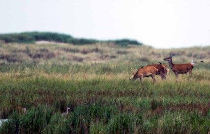 Hirsche und Reiher am Darßer Ort (c) FRank Koebsch (2)
