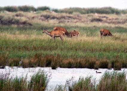 Hirsche und Reiher am Darßer Ort (c) FRank Koebsch (3)