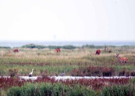 Hirsche und Reiher am Darßer Ort (c) FRank Koebsch (4)