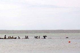 Kormoran bein den Fischerbooten am Strand zwischen Klein Zicker und Thiessow (c) FRank Koebsch