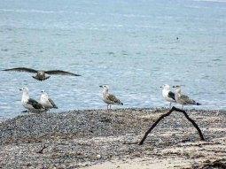 Möwen am Strand vom Darßer Ort (c) Hanka Koebsch (1) b