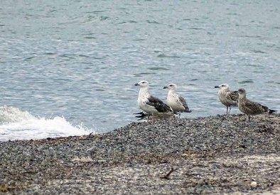 Möwen am Strand vom Darßer Ort (c) Hanka Koebsch (2)