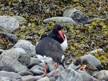 Austernfischer bei der Insel Vigur - Island (c) FRank Koebsch (2)