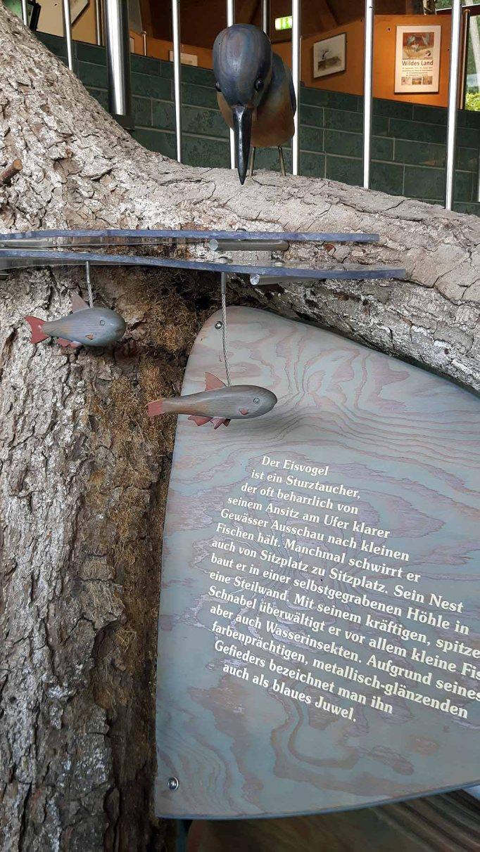 Eisvögel im Umweltbildungszentrum des Wildpark MV (c) Eank Koebsch (2)