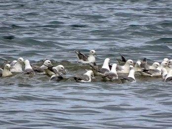 Möwen bei der Insel Vigur - Island (c) FRank Koebsch