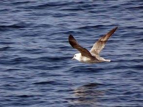 Strumvogel vor Spitzbergen (c) FRank Koebsch (1)