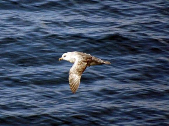 Strumvogel vor Spitzbergen (c) FRank Koebsch (2)