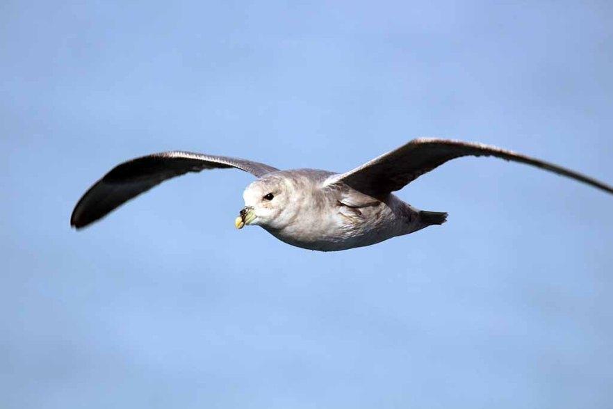 Strumvogel vor Spitzbergen (c) FRank Koebsch (3)