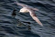 Strumvogel vor Spitzbergen (c) FRank Koebsch (4)