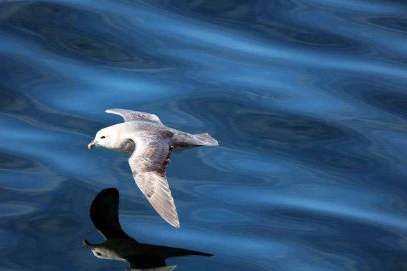 Strumvogel vor Spitzbergen (c) FRank Koebsch (5)