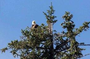 Weißkopfseeadler in Juneau (c) FRank Koebsch (1)